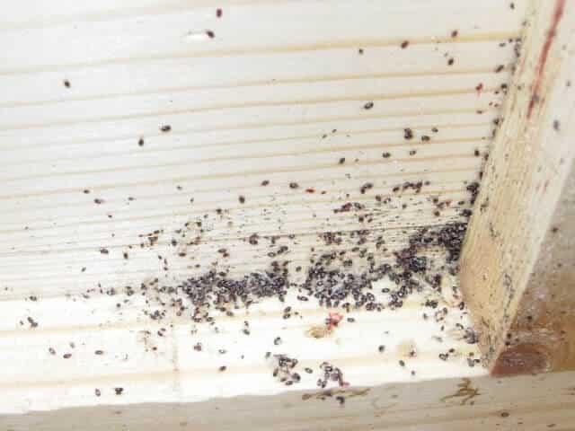 النمل الأبيض للخشب