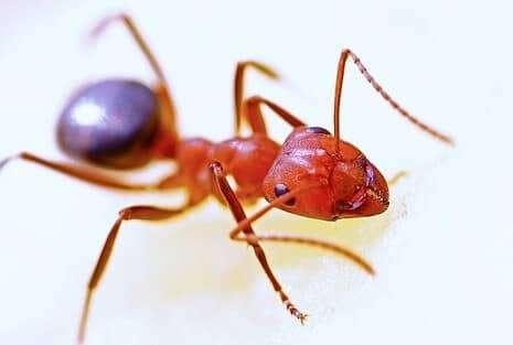 النملالأحمر